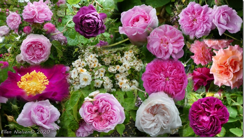 Roser ved Vallø