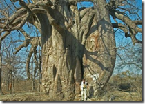 Baobabtræ