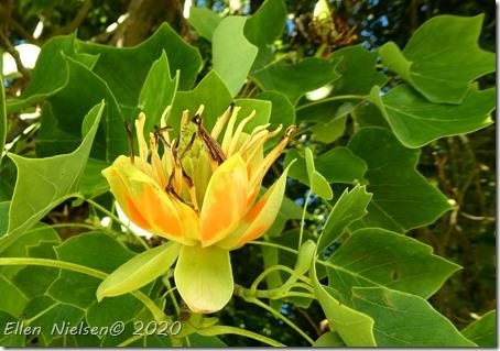 Magnolietræ