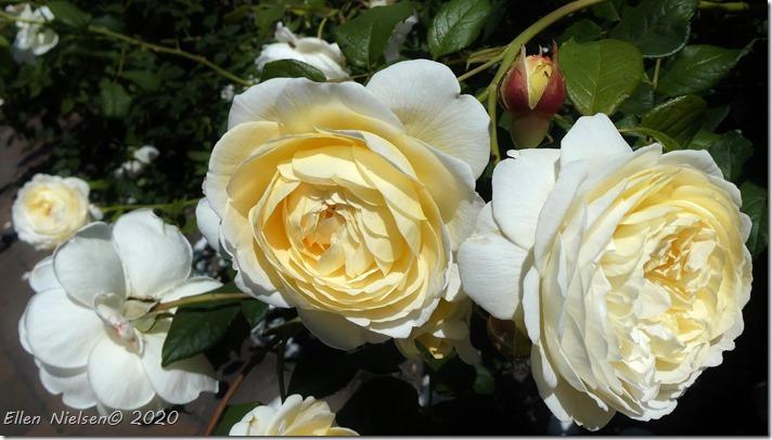 Charlotte-rose