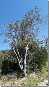 Quercus canariensis - algerisk eg (1)