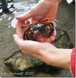 Klø en krabbe