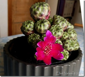 Kaktusblomst