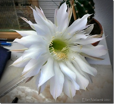 Kaktusblomst (17)